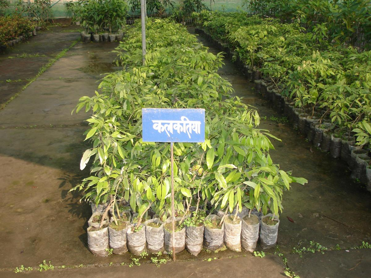 Popagation Of Litchi Agropedia