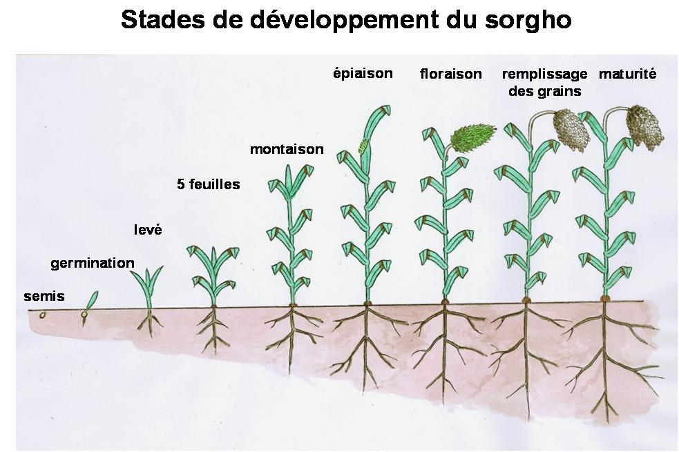 Development stages of sorghum in French