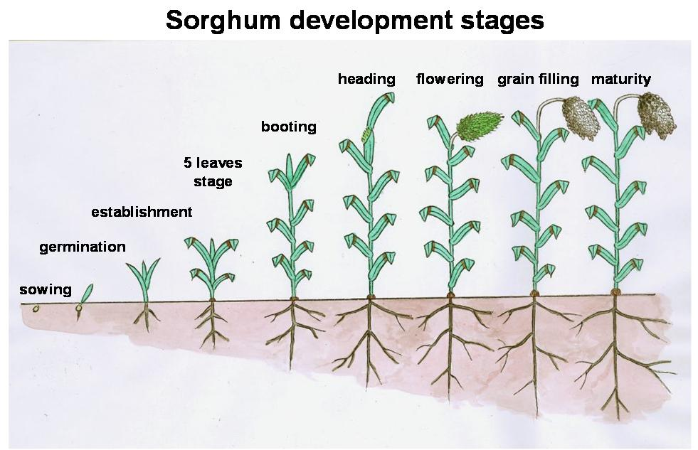 Development stages of sorghum in English