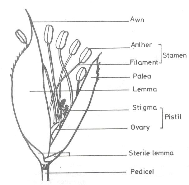 floral diagram of rice plant