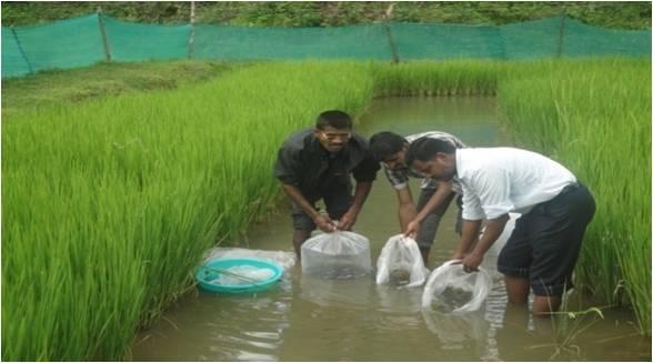 Paddy cum fish culture | agropedia
