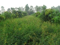 Pigeonpea in between mango orchard