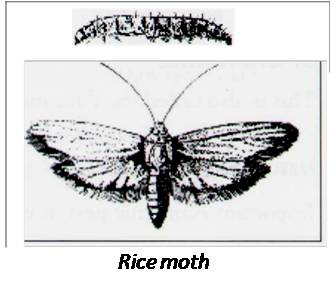 Rice moth - Storage pest of Sweet Sorghum