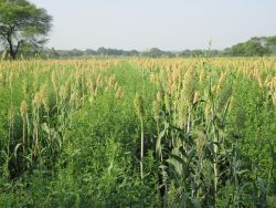 Sorghum intercrop with pigeonpea