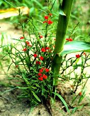 Red flowered striga