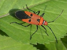Red Cotton Bug Agropedia