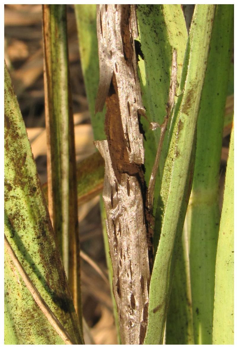 Smut In Sugarcane