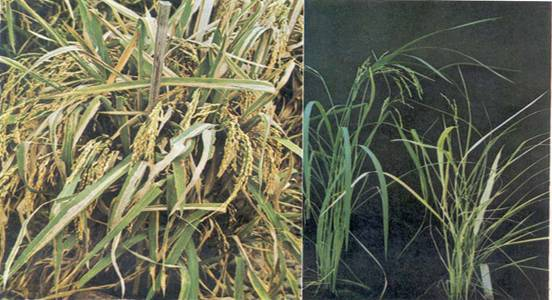 thesis on bacterial leaf blight of rice Although the pest seems to be green leaf hopper of my thesis topic please give me reasons and solutions to get bacterial leaf blight (blb) disease in rice.