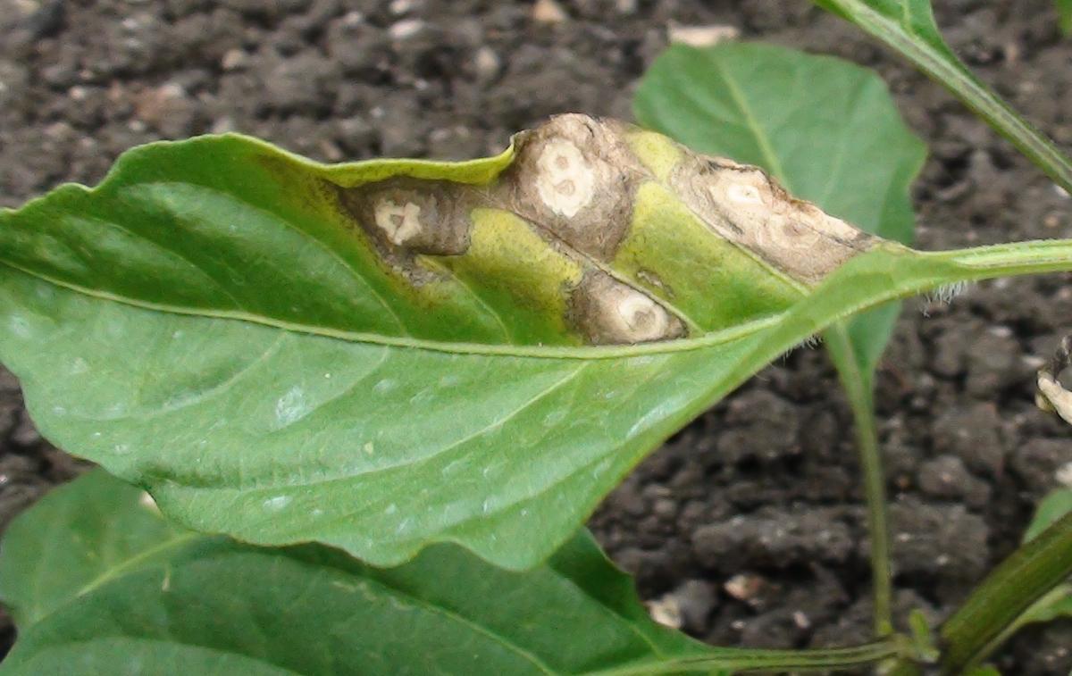 Chilli cercospora leaf spot agropedia coalescing of spots altavistaventures Choice Image