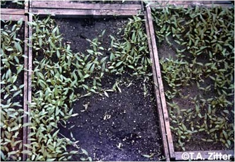 Dieing of seedlings in patches