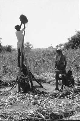 winnowing of sorghum